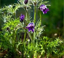 Pasque Flower  by J-images