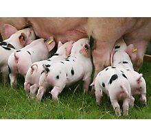 Little Piggies,  Photographic Print