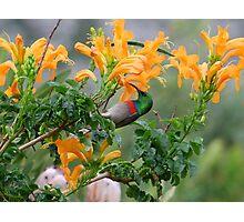 Lesser Double-collared Sunbird Photographic Print