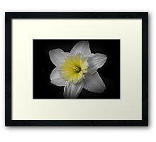 Midnight Daffodil  Framed Print