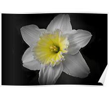 Midnight Daffodil  Poster