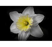 Midnight Daffodil  Photographic Print