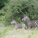 Zebra & foal by Anita Deppe
