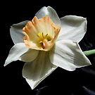 Daffodil and  Black Satin by WildestArt