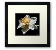 Daffodil and  Black Satin Framed Print