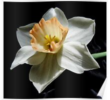 Daffodil and  Black Satin Poster
