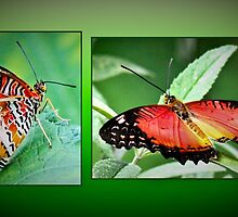 Malay Lacewing by missmoneypenny