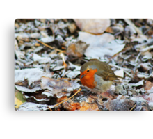 Robin looking for food Canvas Print