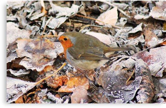 Red robin by jamesnortondslr