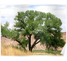 Cottonwood In Spring Poster