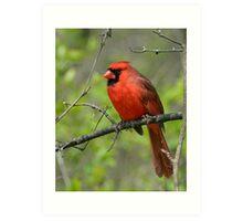 Northern Cardinal in Spring Art Print