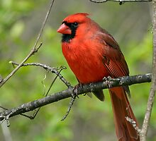 Northern Cardinal in Spring by Heather Pickard