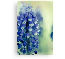 Grape Hyacynths in Blue Canvas Print
