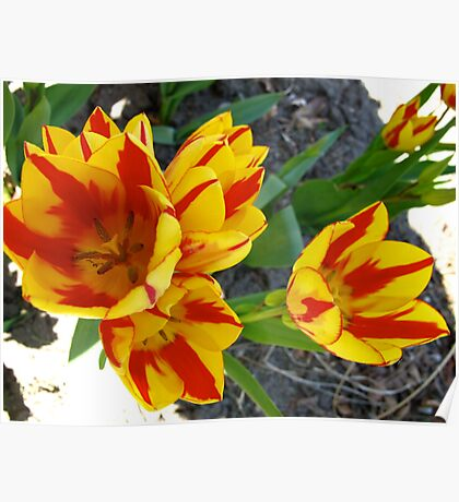 Fire hydrant tulips Poster