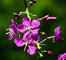 Fireweed - Epilobium angustifolium by Digitalbcon
