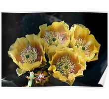 Blind Prickly Pear - Opuntia rufida Poster