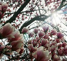 Looking up through Magnolia Tree by Chinita128