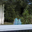 The InnKeepers - Pacific Blue Parrotlet Birds in Florida by Rick Short