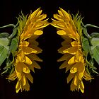 Two Sunflowers by Dennis Reagan
