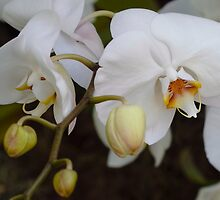 White orchid by Dennis Reagan
