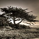 Cypress On The Coast by Diego  Re
