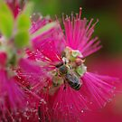 bee on a bottle brush flower by janfoster