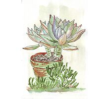 """Graptoveria """"Fred Ives"""" Photographic Print"""