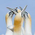 greetings my friends, gannets, Saltee Island, County Wexford, Ireland by Andrew Jones