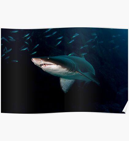 Grey Nurse Shark Poster