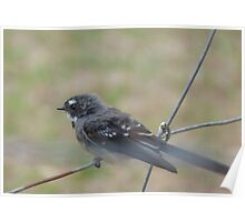 Grey Fantail, Inman Valley Poster