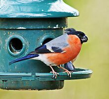 Bullfinch by Jamie  Green