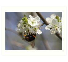 Bee In Spring Art Print