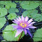 Waterlilly by aandm-photo