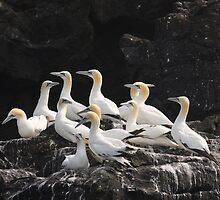 A gathering of Gannets by AeronJohn