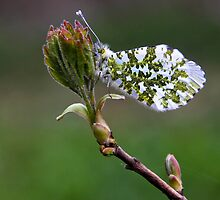 Female Orange Tip by Sarah Walters