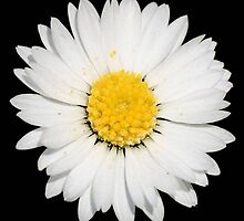 Top View of a White Daisy Isolated on Black by taiche