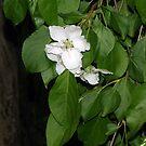 Flowering Weeping Crabapple  by Sandra Lee Woods
