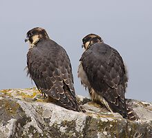 Pair of Peregrines by AeronJohn