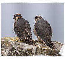 Pair of Peregrines Poster