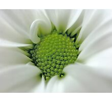 Daisy Opening Photographic Print