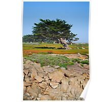 A Cypress On Ocean View Poster