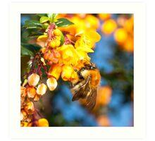 Bee on orange flowers Art Print