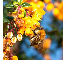 Bee on orange flowers Photographic Print