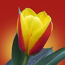 Yellow and red tulip by Irina777