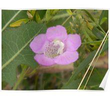 Purple Gerardia, side view, endangered species Poster