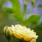 Climbing Rose by Jeff Johannsen