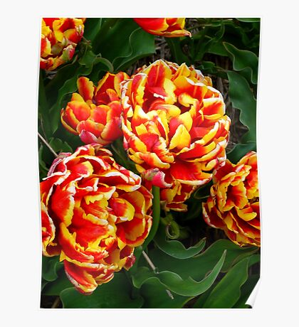 wonderful tulip Poster