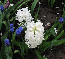 Hyacinths Great and Small - Keukenhof Gardens by MidnightMelody