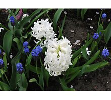 Hyacinths Great and Small - Keukenhof Gardens Photographic Print