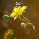 Fly on a Barrenwort Flower by Anita Pollak